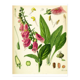 igitalis purpurea - Foxglove Postcard