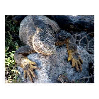 Iguana, Islas las Plazas, Galapagos Postcard