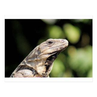 Iguana looking at you post card