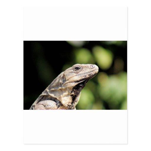 Iguana looking at you postcard