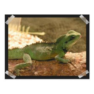 Iguana Photos Postcard