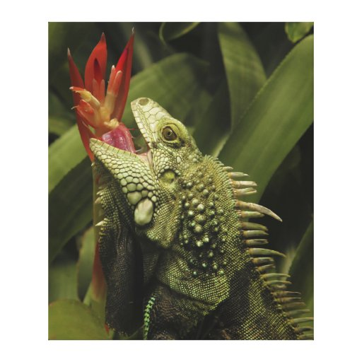 Iguana Western Cape Province, South Africa Stretched Canvas Print