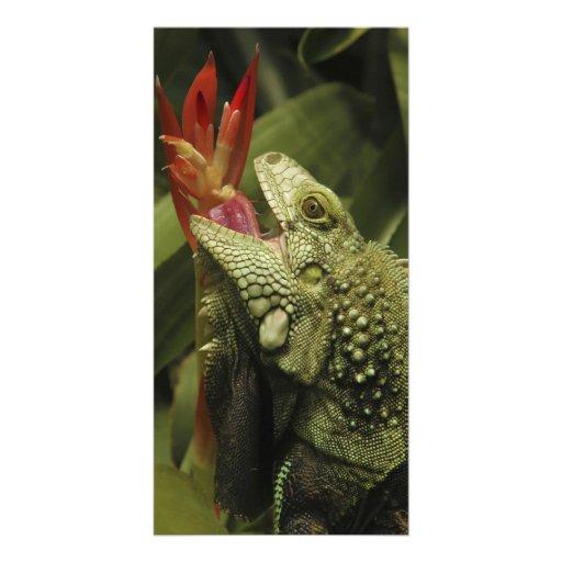 Iguana Western Cape Province, South Africa Photo Cards