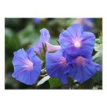 Illuminated Blue Morning Glory Wildflowers Photographic Print