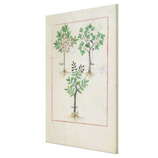 Illustration from the 'Book of Simple Medicines' 2 Canvas Print