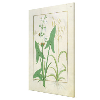 Illustration from the 'Book of Simple Medicines' Canvas Print