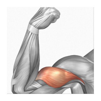 Illustration Of A Flexed Arm Showing Bicep Canvas Print