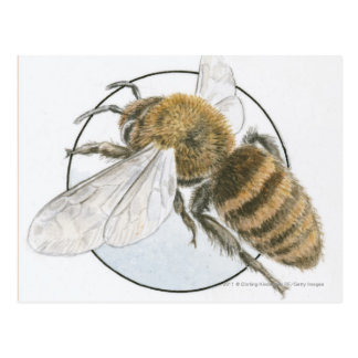 Illustration of European Honey Bee Postcard