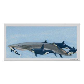 Illustration of Killer Whales working in a group Poster