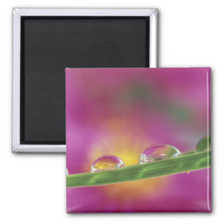 Image of asters formed in water droplets refrigerator magnet