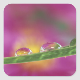 Image of asters formed in water droplets square sticker