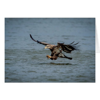 Immature Bald Eagle diving for a fish Card