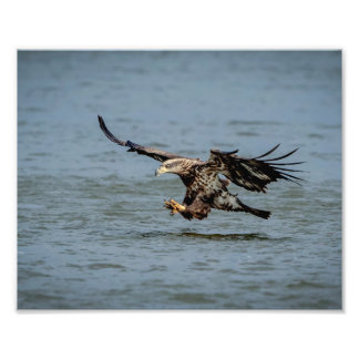 Immature Bald Eagle diving for a fish Photo Print