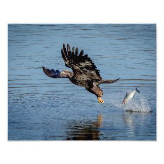 Immature Bald Eagle dropping a fish Photo Print