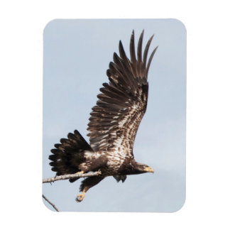 Immature Bald Eagle in Flight Rectangular Photo Magnet