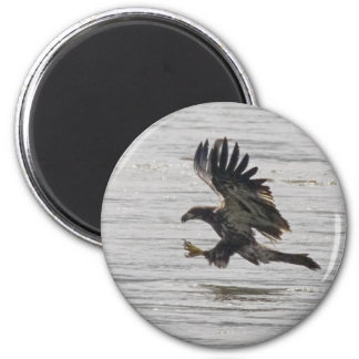 Immature Bald Eagle Magnet