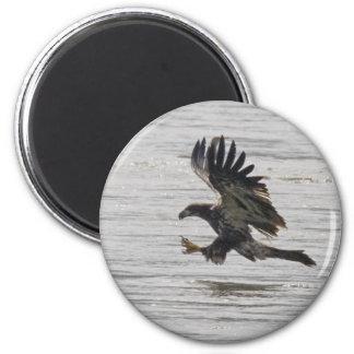Immature Bald Eagle Magnet
