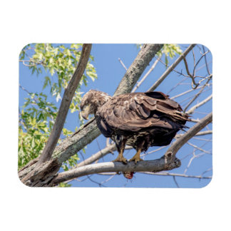 Immature Bald Eagle with a Catfish Rectangular Photo Magnet