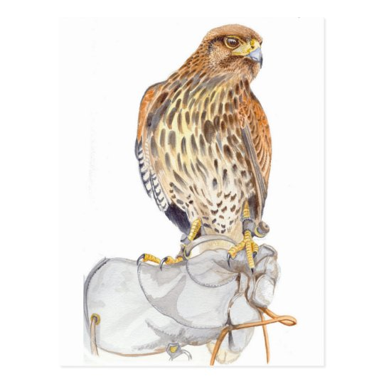 Immature Harris hawk on Glove postcard