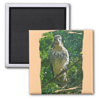 Immature Red Tailed Hawk Coordinating Items Fridge Magnet