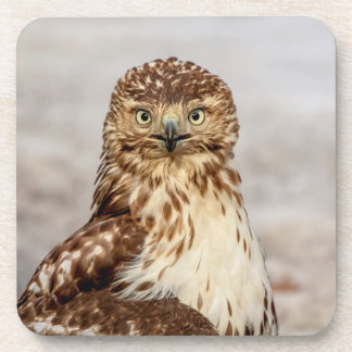 Immature Red-Tailed Hawk on the ground Drink Coaster