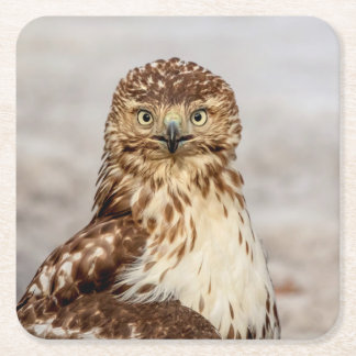 Immature Red-Tailed Hawk on the ground Square Paper Coaster
