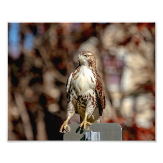 Immature Red Tailed Hawk Photographic Print