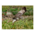 Immature Red Tailed Hawk Postcard
