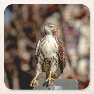 Immature Red Tailed Hawk Square Paper Coaster