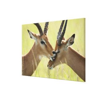 Impala, Aepyceros melampus, in the Masai Mara Gallery Wrapped Canvas