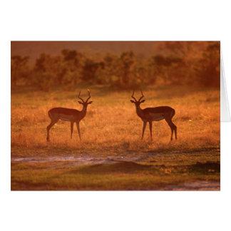 Impala (Aepyceros Melampus) Rams At Sunset Card