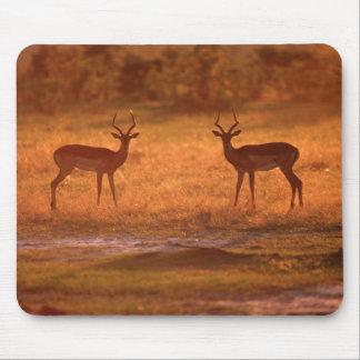 Impala (Aepyceros Melampus) Rams At Sunset Mouse Mat
