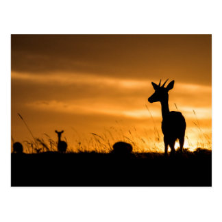 Impala at Sunset Postcard