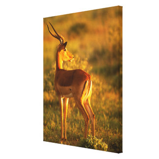 Impala in Golden Light Canvas Print