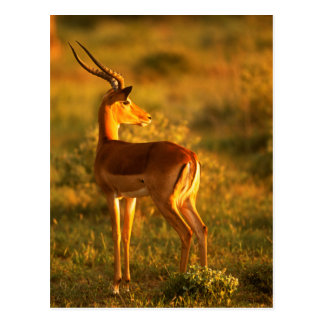Impala in Golden Light Postcard