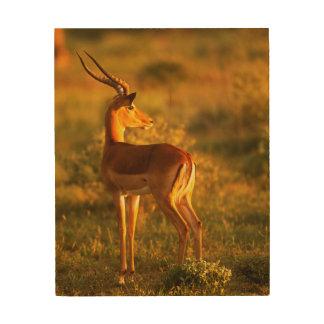 Impala in Golden Light Wood Canvas