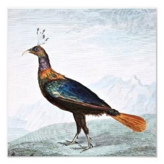 Impeyan Pheasant Bird Illustration Photo