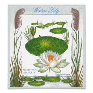 In the Garden ~ Water Lily Poster