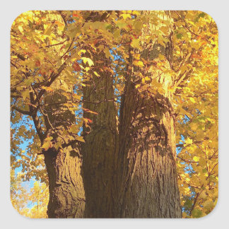 In the Glow of Golden Maple Leaves - Square Sticker