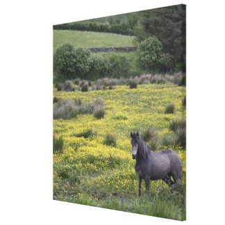 In Western Ireland,a horse stands in a bright Stretched Canvas Print