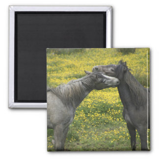 In Western Ireland,two horses nuzzle in a Magnet