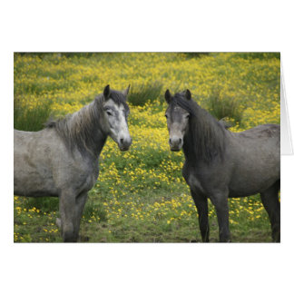 In Western Ireland, two horses with long Card