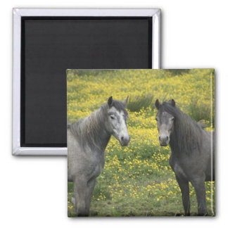 In Western Ireland, two horses with long Magnet