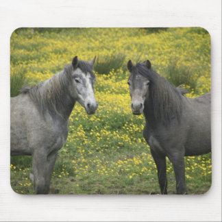 In Western Ireland, two horses with long Mouse Pad