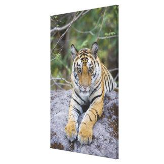 India, Bandhavgarh National Park, tiger cub Canvas Print