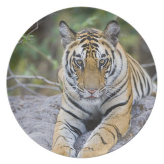 India, Bandhavgarh National Park, tiger cub Dinner Plates