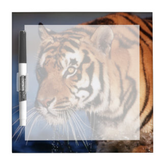 India, Bengal Tiger (Panthera Tigris) 2 Dry Erase Board