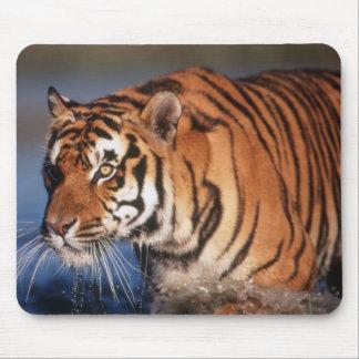 India, Bengal Tiger (Panthera Tigris) 2 Mouse Mat
