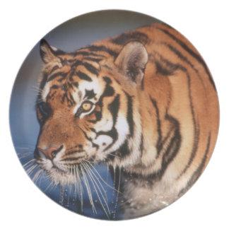India, Bengal Tiger (Panthera Tigris) 2 Plate