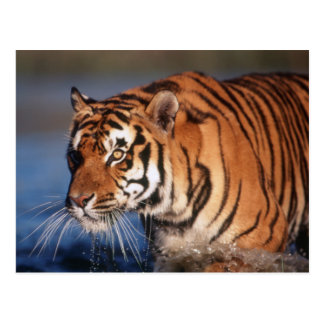 India, Bengal Tiger (Panthera Tigris) 2 Postcard